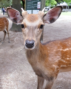 A deer. Seen in Nara, Japan.