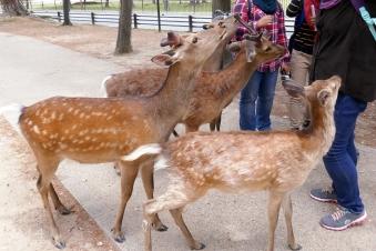 Deers in Nara, Japan