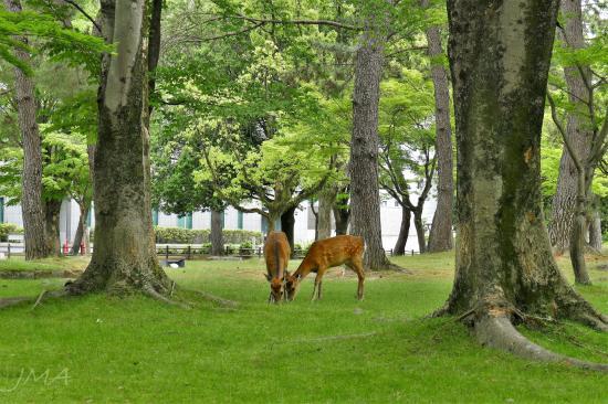 Deers in the Nara park, Japan.